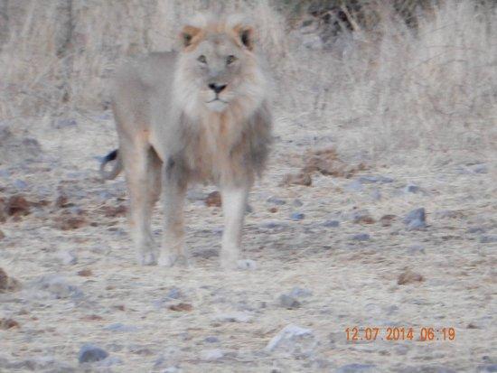 Halali Resort: lion