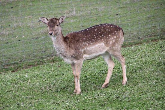 Mansfield Zoo: lots of deer