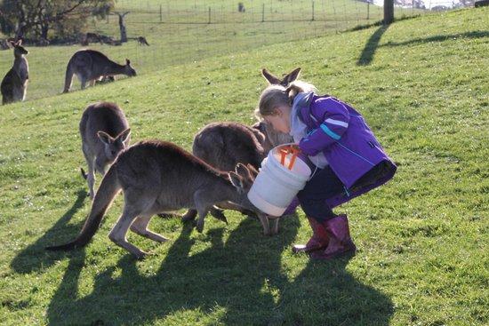 Mansfield Zoo: friendly kangaroos