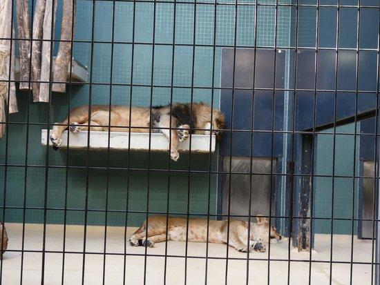 Zoologischer Garten (Berlin Zoo) : lwy