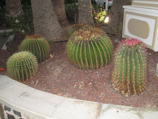 Hotel Riu Palmeras / Bung Riu Palmitos: cactus dell hotel