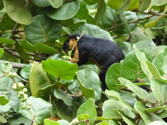 The Datai Langkawi: Black squirrel