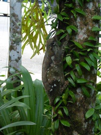 The Datai Langkawi: Nocturnal flying lemur
