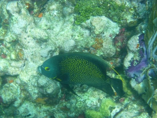 Captain Hook's Marina & Dive Center: French angelfish