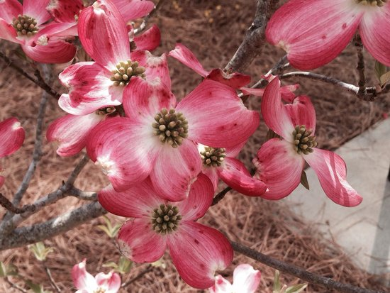 Dogwoods at Glencairn Gardens