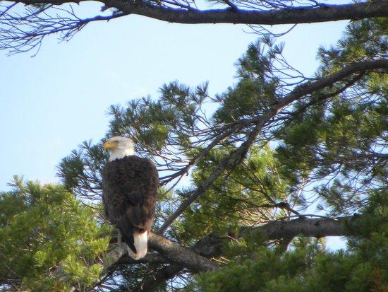 5 Lakes Lodge: Bald eagle