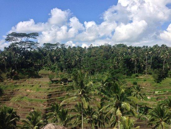Tegalalang Rice Terrace: Tegal Alang Rice Terrace