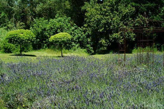 Cote Provence: Notre champ de lavandes - our own lavander field