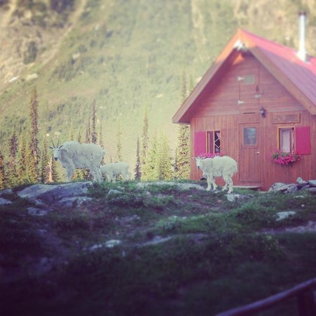 Selkirk Mountain Experience Lodge: Durrand Glacier: Goats outside the shower house
