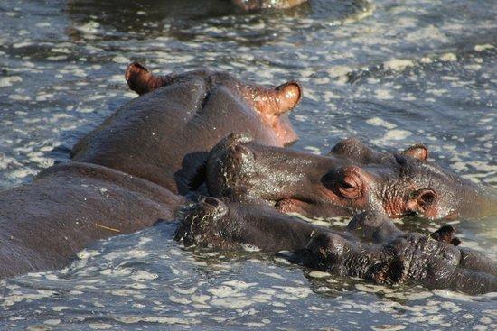 Serengeti Hippo Pool (Charca de Hipopótamos del Serengeti): Hippo Pool