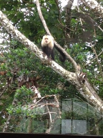 Monteverde Lodge & Gardens: A white face monkey looking at us eating breakfast.