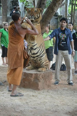 Tiger Temple Thailand Tour: scary- hungry tiger