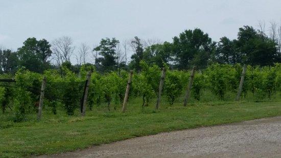Pelee Island Winery : Vineyard view