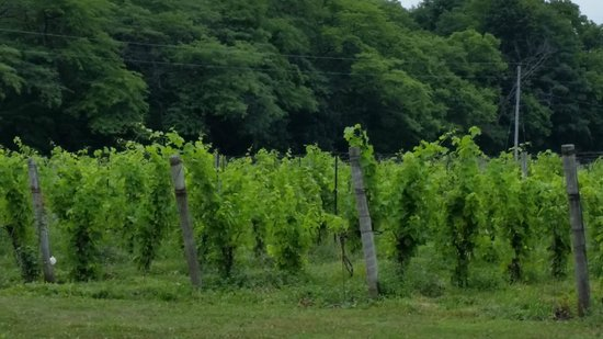 Pelee Island Winery : Grapes