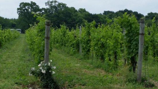 Pelee Island Winery : Vineyards