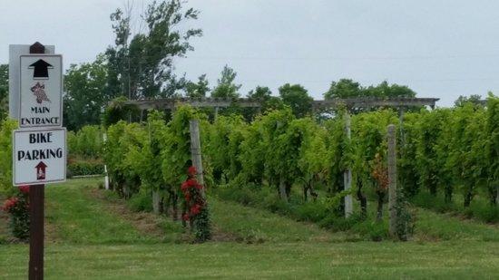 Pelee Island Winery : grapes