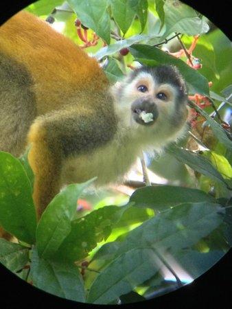 Playa Manuel Antonio: squirrel monkey eating