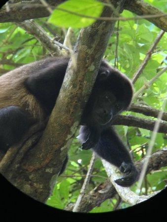Playa Manuel Antonio: Howler Monkey