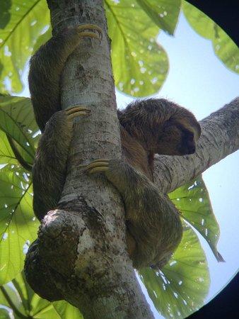 Playa Manuel Antonio: sloth