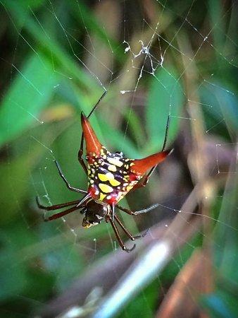 Playa Manuel Antonio: interesting spider