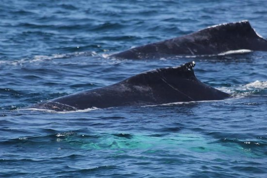 Blue Ocean Whale Watch: humpback whales