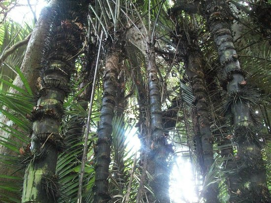 REGUA - Reserva Ecologica de Guapiacu: Palmeiras Iriri presentes na mata