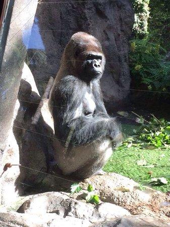 Loro Parque: Gorilla