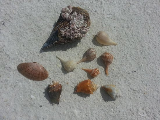 Sea Shell Boat Tours: Types of shells we found with Samantha and Erik
