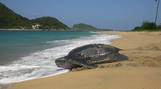 Mount Cinnamon Resort & Beach Club: Nesting leather-backs in Grenada