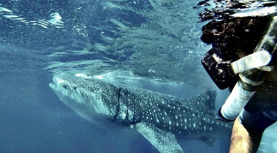 Ocean Tours: Tiburon Ballena Playa del carmen!