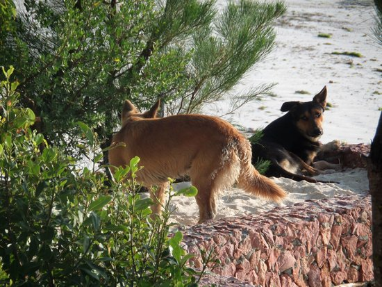 Mbuyuni Beach Village: Dogs.