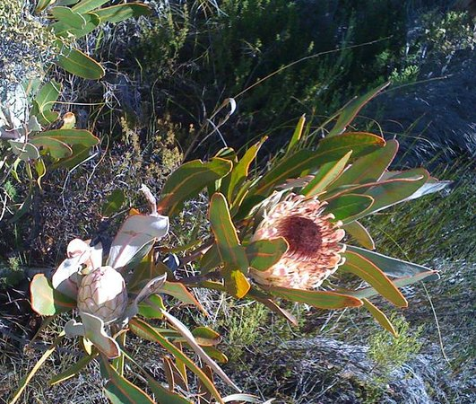 Swartberg Pass: Protea