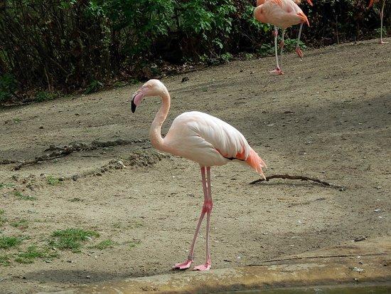 Zoologischer Garten (Berlin Zoo) : Фламинго