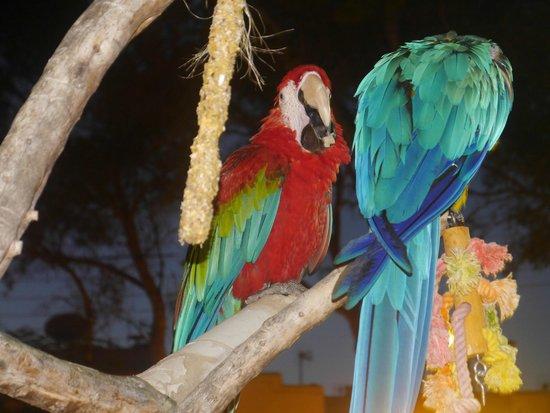 Gavimar Ariel Chico Club Resort: Parrots at cocktail bar