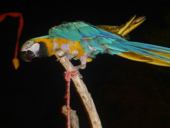 Gavimar Ariel Chico Club Resort : Parrots at cocktail bar
