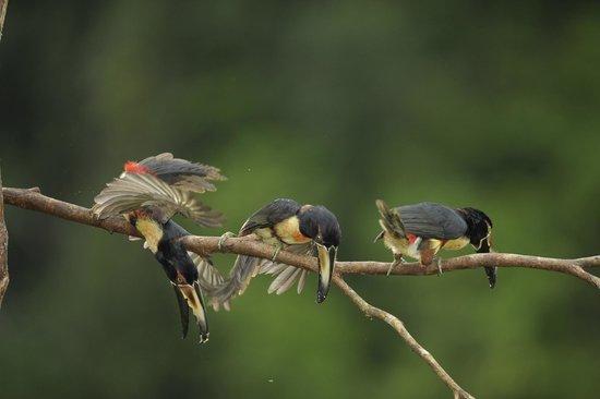 Laguna del Lagarto Lodge: aracari toucans