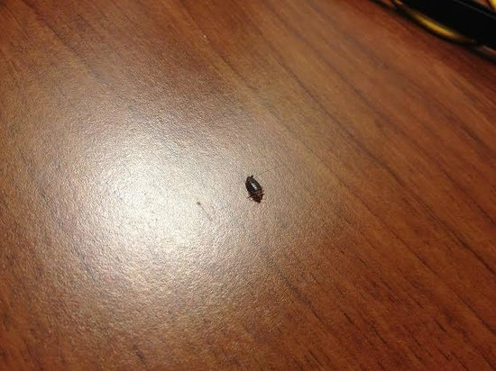 Drury Inn & Suites Findlay: Bedbug (dead) found in the bed at the Drury Inn