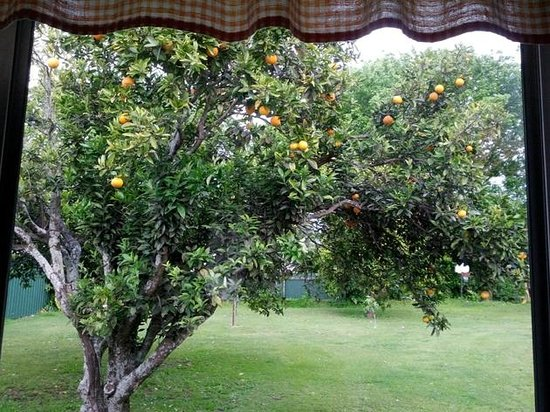 Eastland Motor Lodge: The orange tree from the kitchen's window
