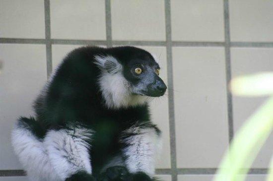 Kölner Zoo: Lemur