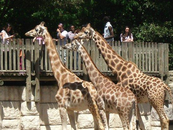 La Palmyre Zoo : les girafes