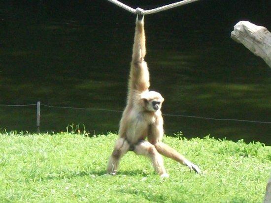 La Palmyre Zoo : un singe qui s' éclate