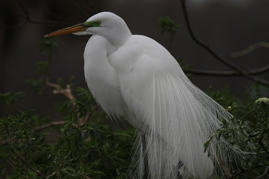 Save Our Seabirds: Great Egret