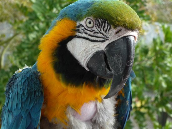 Save Our Seabirds: Blue and Gold Macaw