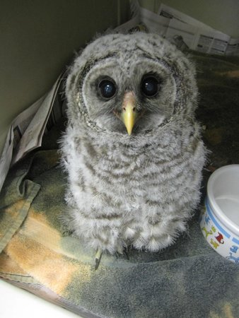 Save Our Seabirds: Baby Barred Owl