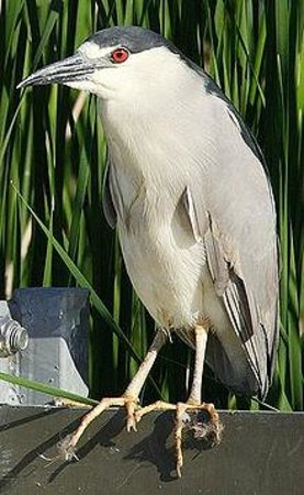 Save Our Seabirds: Black Crowned Night Heron