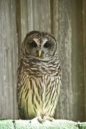 Save Our Seabirds : Barred Owl