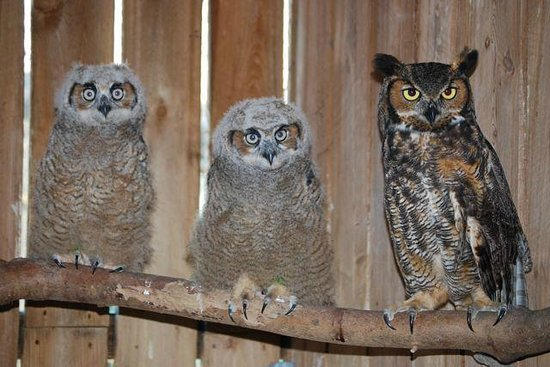 Save Our Seabirds : Great Horned Owls