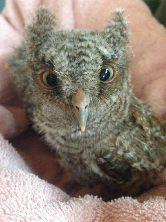 Save Our Seabirds : Baby Screech Owl