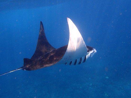 Diving Indo: Nurkowanie z mantami w Manta Point