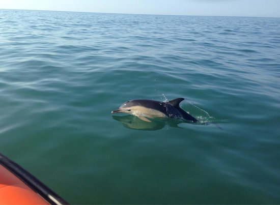 Voyages of Discovery (Ramsey Island): Dolphin encounter whilst on Voyages of Discovery offshore trip St David's 23.07.2014